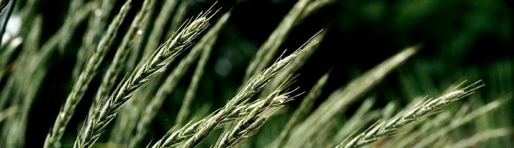 Perennial Grains